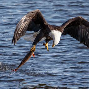 Bald Eagle Catching a Fish by Buddy Woods - Animals Birds ( bird, predator, birds of prey, eagle, bald eagle, raptor, bald eagles, eagles, birds,  )