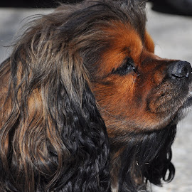 Posing by Cher Gadway Richardson - Animals - Dogs Puppies ( animals, dogs, brown, black )