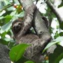 Pale-throated Sloth