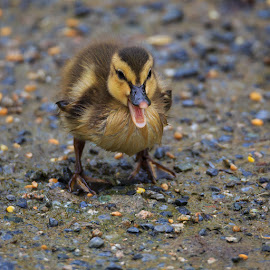 The Talking Duckling by Briand Sanderson - Animals Birds ( fowl, duckling, canada, quack, reifel bird sanctuary, duck, baby, british columbia )