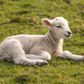 Chill Time by Darrell Evans - Animals Other Mammals ( grass, sheep, legs, laying, lamb, wool, livestock )