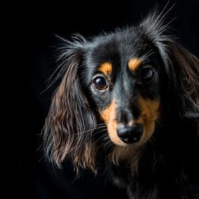 Tippa, our sweet doxie by Juha Kauppila - Animals - Dogs Portraits ( sog, doxie, dachshound, black, portrait, eyes )