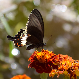 Marigold by Vivek Sharma - Flowers Flowers in the Wild ( vivekclix, wild, butterfly, nature, vivek, beauty in nature, flower )