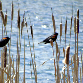 Red-winged Blackbird by Cynthia Dodd - Novices Only Wildlife ( water, animals, nature, cattails, outdoors, birds, wildlfe )