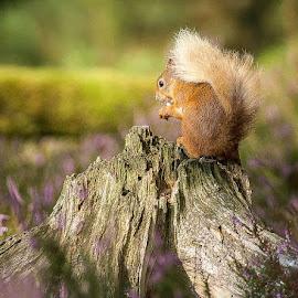 Red squirrel  by Dawn Westwood - Animals Other ( scotland, red squirrel )