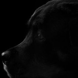 Her Soul by Jacqui Sjonger - Animals - Dogs Portraits ( low contrast, pet photography, black and white, low key, dog portrait, dog photography, drama, portrait, pet portrait, pet, dramatic, dog, black, rottweiler, animal )