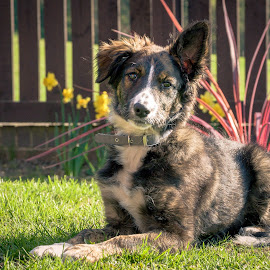 Young Tess by Darrell Evans - Animals - Dogs Portraits ( face, grass, tess, green, stare, young, canine, fence, border collie, hound, outdoor, ears, bitch, puppy, laying, tri-colour, dog )