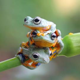 The Trio by Kurit Afsheen - Animals Amphibians ( macro, animals, frog, macro photography, tree frog, three, amphibian, toad, amphibians )