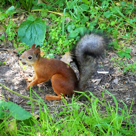 A squirrel with a nut by Svetlana Saenkova - Animals Other ( squirrel,  )