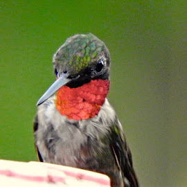 Make Ruby Throat grabbing an evening meal by Bill Martin - Animals Birds ( macro, red, color, hummingbird )