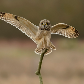 Short Eared Owl  by Keith Bannister - Animals Birds ( wildlife short eared owl, nature, birds, owls )