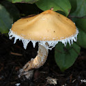 Questionable Stropharia
