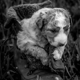 Little Puppy by Samuk Domingues - Animals - Dogs Puppies ( boot, grass, black and white, puppy, dog )