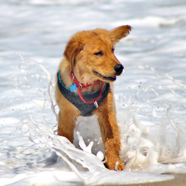 Caught by a Wave by Leah Zisserson - Animals - Dogs Puppies ( ocean, beach, surf, dog, golden retriever,  )