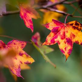 Autumn colours by Joggie van Staden - Nature Up Close Leaves & Grasses ( autumn leaves, nature, autumn, plants, nature up close, leaves )