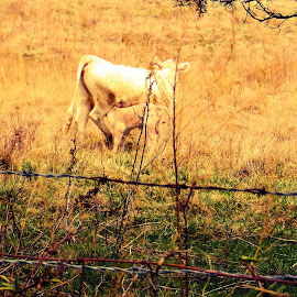 Precious  Country Moment by Jaime Cooper - Animals Other ( country life, nursing calf, cows, north carolina )