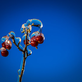 Frozen Cherries by George Petropoulos - Nature Up Close Other plants ( twid, nature up close, bluesky, cherries, icestorm )