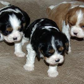 Triplets by Karen McGregor - Animals - Dogs Puppies