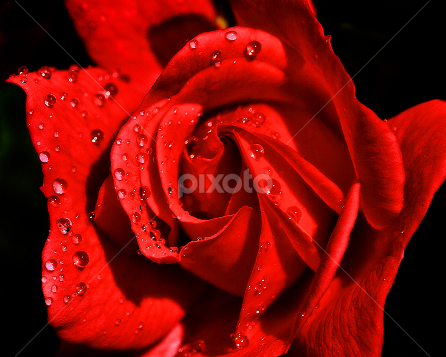 Red rose and water drops by Peter Greenhalgh - Nature Up Close Flowers - 2011-2013 ( water, black background, rose, red, rosa, drops, rain, flower )