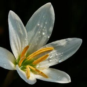 Flower by Pandu Sinatriyo - Nature Up Close Flowers - 2011-2013 ( macro, nature, white, close up, flower )