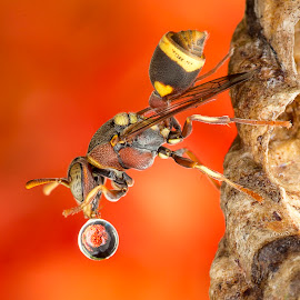 Wasp 150520A by Carrot Lim - Animals Insects & Spiders