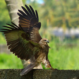 kite by Sunny Joseph - Animals Birds
