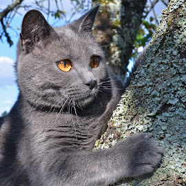 Chartreux climbing the sherry tree by Serge Ostrogradsky - Animals - Cats Playing