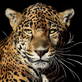 Kitty by Shawn Thomas - Animals Lions, Tigers & Big Cats