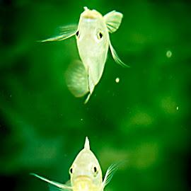duo by Vikram Singh - Animals Fish ( animals, fish )