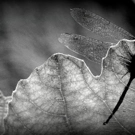 Textured by MD Othman - Novices Only Macro ( b&w, texture, fig leaf, dragonfly, garden )