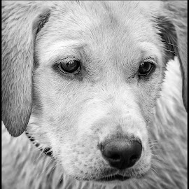 Fury by Dave Lipchen - Black & White Animals ( yellow lab )