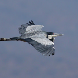 Grey Heron in Flight by Judy Patching - Novices Only Wildlife ( bird nature wildlife heron flying )