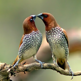Love Pair by Prasanna Bhat - Animals Birds (  )