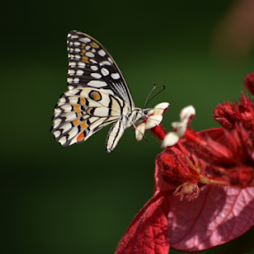 Butterfly by Diliban P - Animals Insects & Spiders ( nature, closeup, butterfly, insect, park, flower )