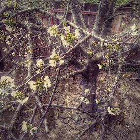 Tree in backyard by Nat Bolfan-Stosic - Nature Up Close Trees & Bushes ( cherry, tree, backyard, flowers, blossom )