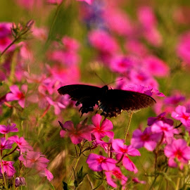 Black butterfly by Brenda Shoemake - Nature Up Close Other plants (  )