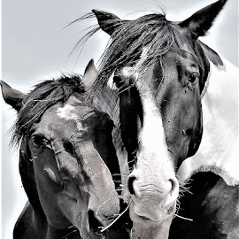 Sharing Breakfast  by Linda    L Tatler - Black & White Animals ( farms, farm, geldings, equine, horses )