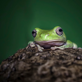 the frog by Deny Prasetiyo - Animals Amphibians