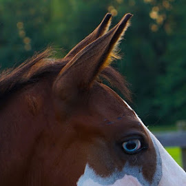 Bowie by Ginny Wright Askins - Animals Horses