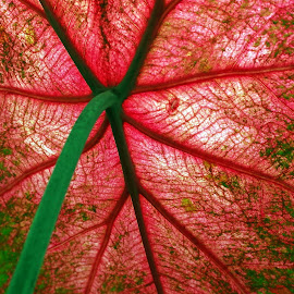 Caladium by Millieanne T - Nature Up Close Leaves & Grasses