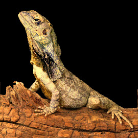 Frilled Dragon by Ralph Harvey - Animals Reptiles ( lizard, wildlife, ralph harvey, marwell zoo, animal )