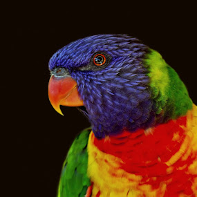 Rainbow Lorikeet by Steve Hatton - Animals Birds ( australian bird, bird, australian wildlife, rainbow lorikeet, colourful bird, parrot, australian rainbow lorikeet, lorikeet )