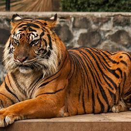 by Dandy Tanuwidjaja - Animals Lions, Tigers & Big Cats