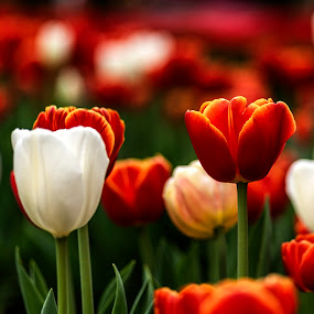Blooming tulips by Mike Allen - Flowers Flower Buds ( spring, flowers, bloom,  )