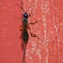 Ichneumon Wasp Sp.