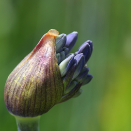 Ready to Blossom by Michael Schwartz - Flowers Flower Buds (  )