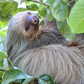 Sleepy Sloth by Betty Arnold - Animals Other Mammals ( sloth, animal )