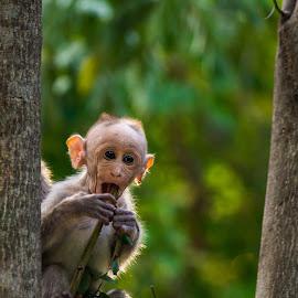 Innocence by Naveen Joyous - Animals Other ( nature, wildlife, baby, monkey, animal )