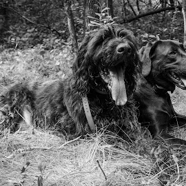Pals by Laura Gardner - Novices Only Pets ( hunting dogs, rescue dogs, hunting season, dogs, nd, fall )