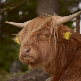 oh, do you really need to take a photo now?  I'm soooo tired   by Kristin Smestad - Animals Other ( highland, cow, cattle, bull, animal )